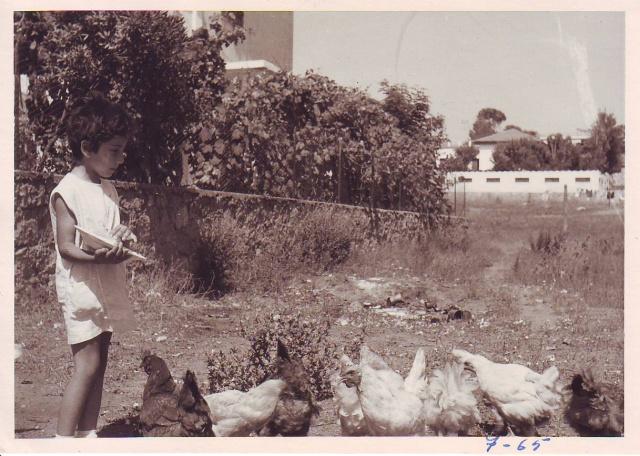 hens-feeding